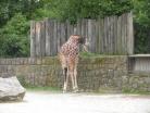 Krmení žirafy