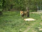 Výběh lvů - Zoo Dvůr Králové n. L.